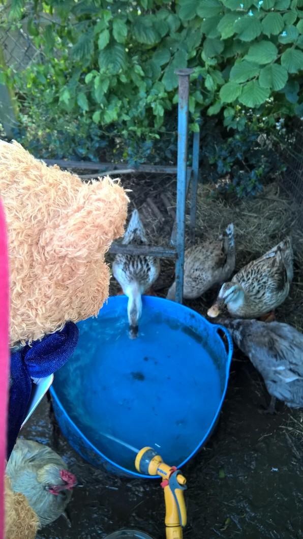SB Ducks